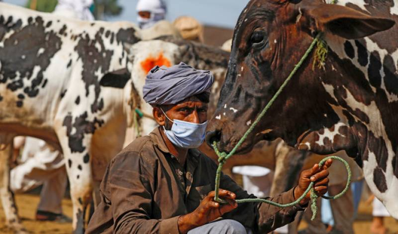 Sindh allows setting up of cattle markets under strict SOPs