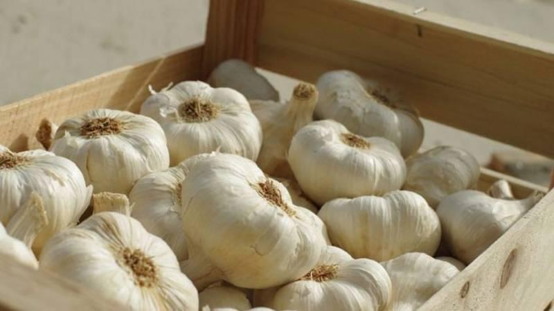 History made as Pakistan invents new variety of garlic