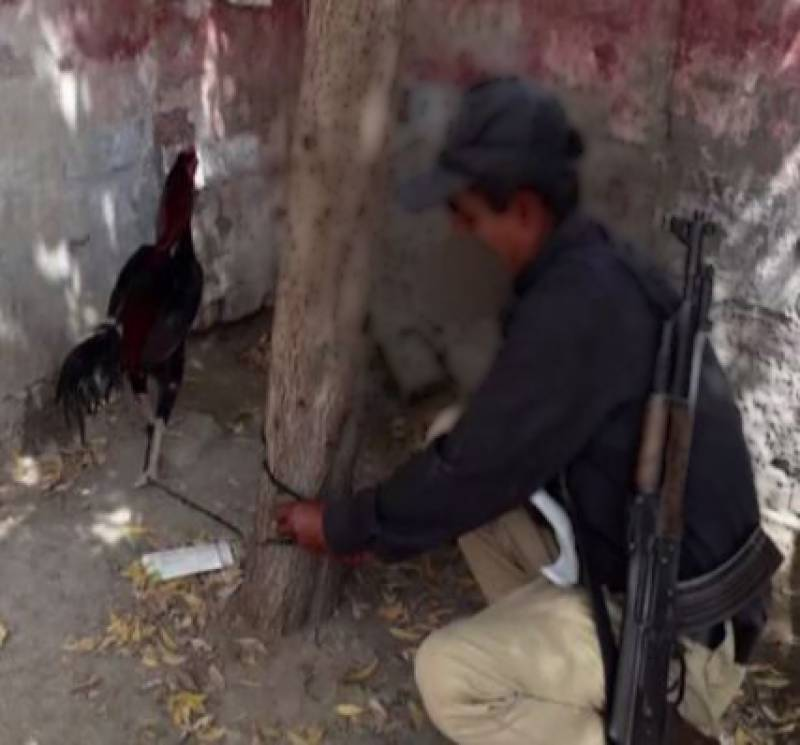 Cockfighting — 'Helpless' rooster waiting for bail in Sindh for 8 months