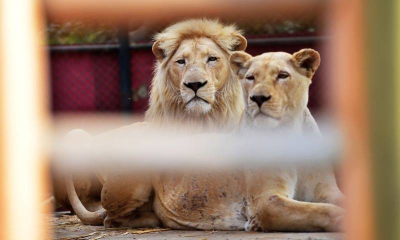 Two lions die at Pakistan zoos in 2 days
