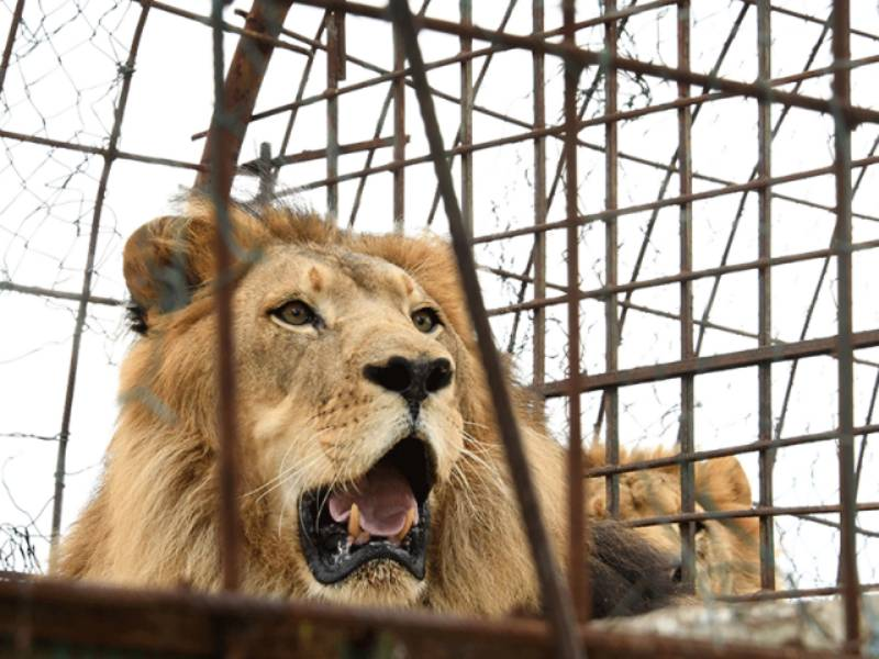 Islamabad police register case over torture on lions