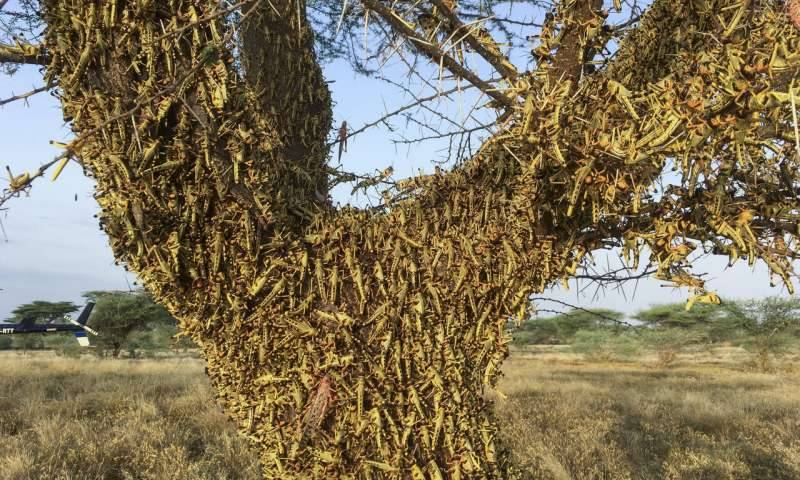Locusts reported in Tharpark and Nagarparkar area adjacent to Indian border: NLCC