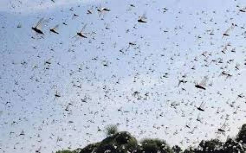 NLCC conduct anti-locust operations in Balochistan, Sindh