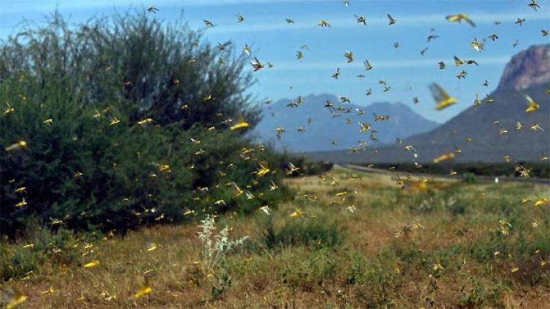 Punjab, KP declared free from locust