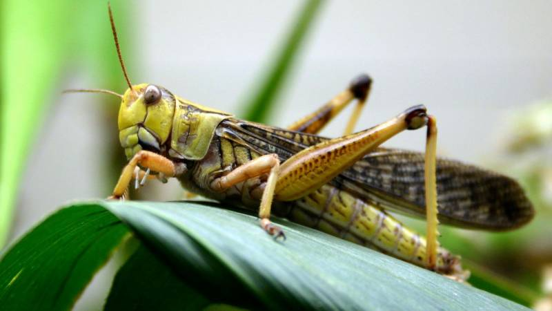No locust found in 151,626 hectares across KP, Punjab