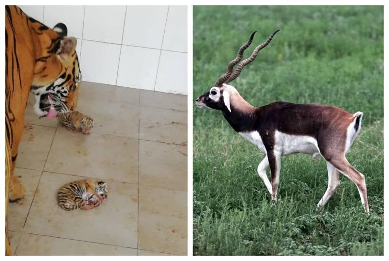 Rare Black Buck, Bengali tigress give birth at KP zoos