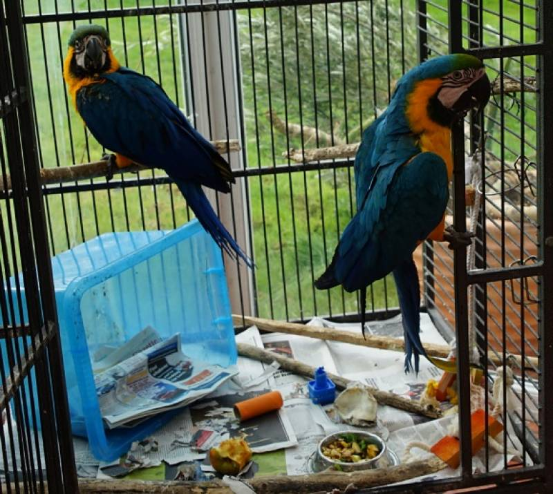 Rare parrots rescued by wildlife dept in RY Khan