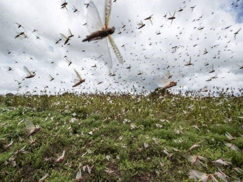 Another locust attack likely to hit Pakistan
