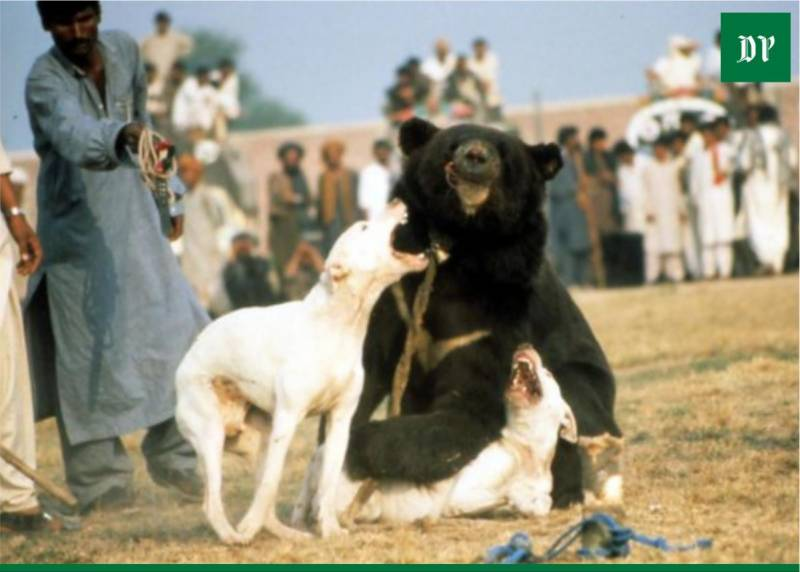 Video of cruel bear-baiting goes viral amid call to protect Pakistan's wildlife