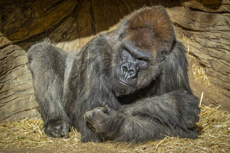 Gorillas diagnosed with COVID-19 at US safari park