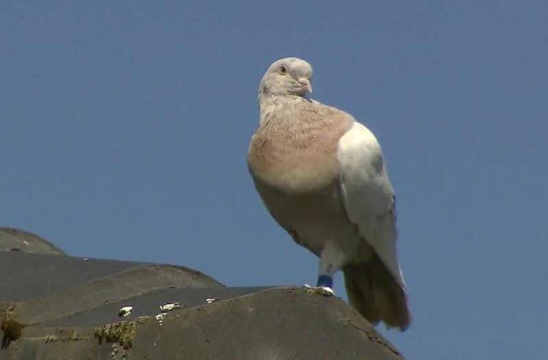 Feathered fugitive! Australia to kill pigeon that crossed Pacific from Oregon