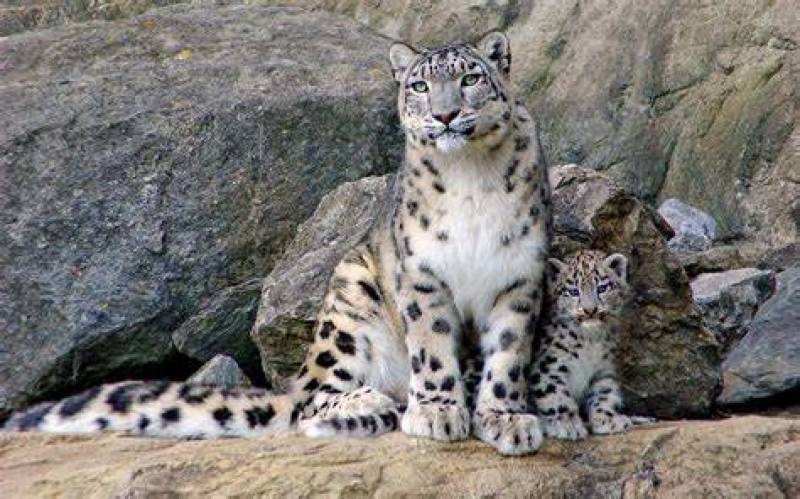 Wandering snow leopard killed after attacking man in Abbottabad