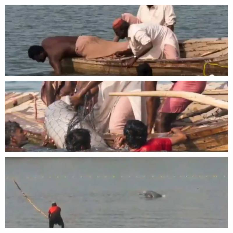 Sindh Wildlife rescues two blind Indus dolphins near Rohri Canal (VIDEO)