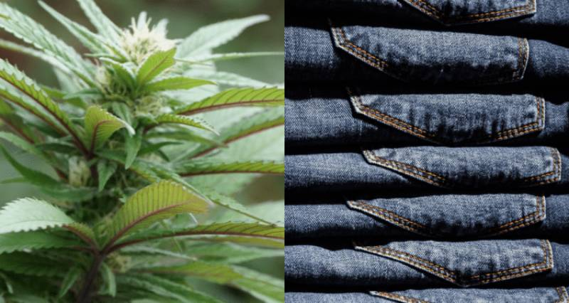 Pakistani scientists successfully make sustainable jeans from cannabis