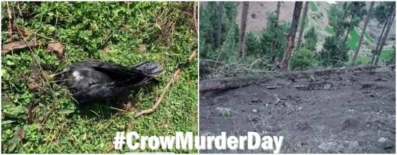 crow murder day