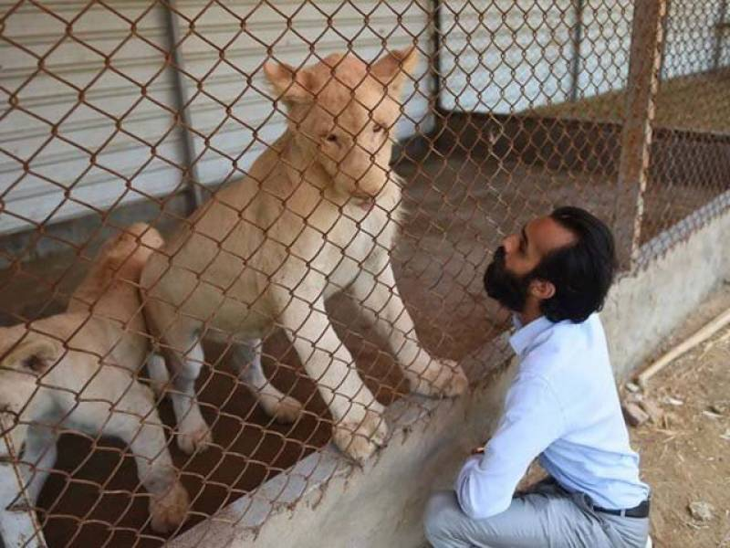 Multan man slapped with fine for keeping lions at house