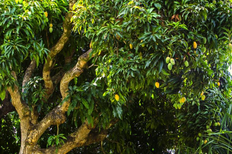 Ban on axing mango trees demanded after video of Multan orchards goes viral