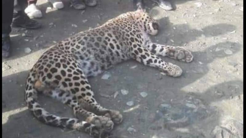 Stray leopard beaten to death by locals in Abbotabad, shows video (Graphic Warning)