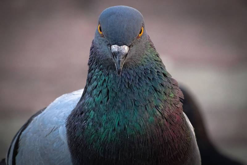 Another Pakistani 'spy' pigeon captured in India