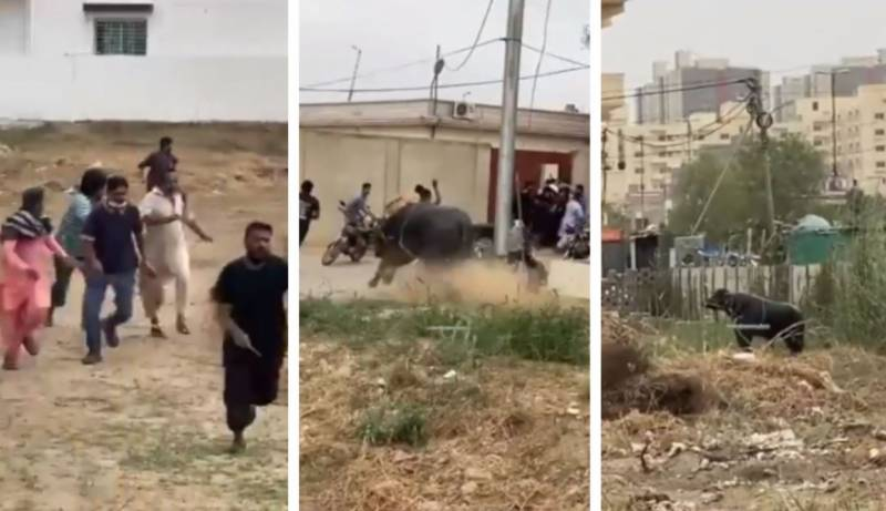 Eight arrested for shooting runaway bull in Karachi (VIDEO)