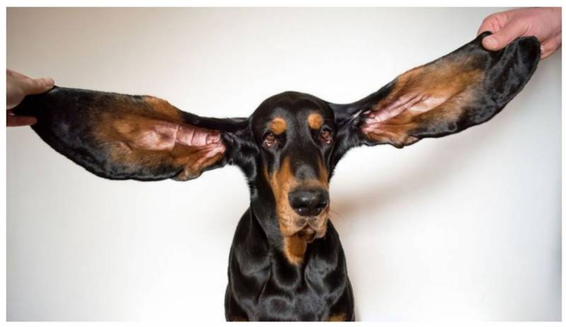 American canine awarded the Guinness World Record for Longest Ears on a Dog