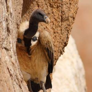 Sindh is a vitally important breeding site for South Asia's endangered vulture populations.
